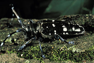 Asian long-horned beetle