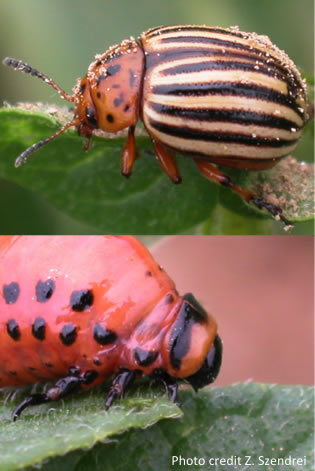 Coloraro potato beetle
