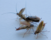 German cockroach, three males courting a female