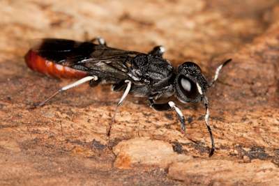 Parasitic wood wasp