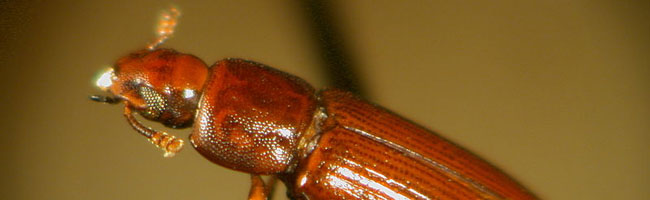 Red flour beetle