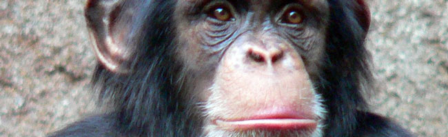 Image: Common chimpanzee in the Leipzig Zoo.