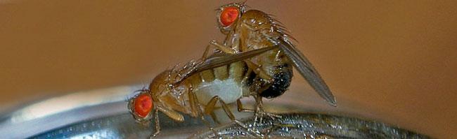 ARCA strikes again! Drosophila_melanogaster_for_web_001