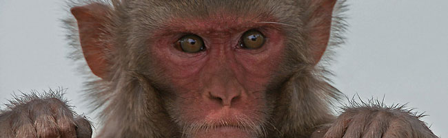 Image: Rhesus Macaque Macaca mulatta in Kinnerasani Wildlife Sanctuary, Andhra Pradesh, India.