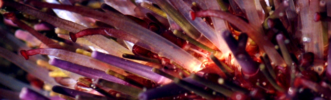 image: purple sea urchin