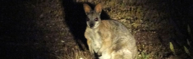 Tammar wallaby, Macropus eugenii eugenii, at Innes National Park, South Australia. This is the reintroduced subspecies that is listed as extinct in the wild.