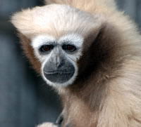 Image: Hoolock leuconedys. Photos by Gabriella Skollar at the Gibbon Conservation Center (Santa Clarita, CA)