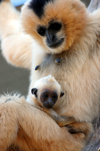 Image: Nomascus leucogenys. Photos by Gabriella Skollar at the Gibbon Conservation Center (Santa Clarita, CA)