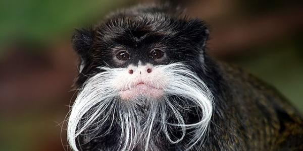 Emperor tamarin. Photo by Brocken Inaglory, CC BY-SA 3.0