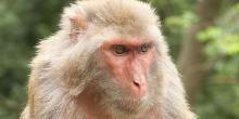Rhesus macaque - photo by Einar Fredriksen