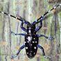 Asian longhorned beetle (Photo credit: David Lance)